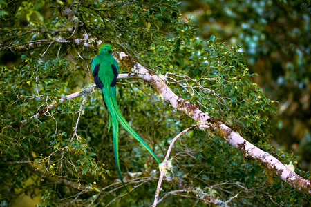 Resplendent Quetzal, Pharomachrus mocinno. Green bird from Costa Rica. Bird with long tail. Reklamní fotografie