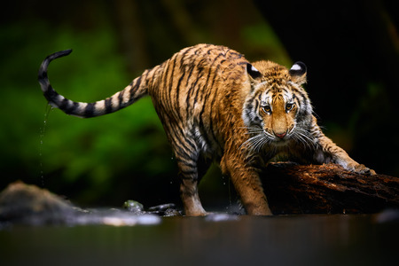 Beautiful young Siberian tiger -  Panthera tigris altaica is playing in the river with big wood. Action wildlife scene with danger animal.