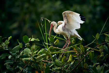 American white ibis (Eudocimus albus) landing on a tree. Wildlife scene from nature. Birdwatching in Costa Rica Reklamní fotografie