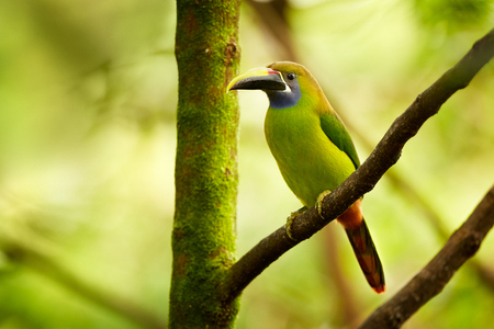 Blue-throated Toucanet, Aulacorhynchus caeruleogularis. The smallest toucan in Costa Rica. Exotic animal in tropical forest.