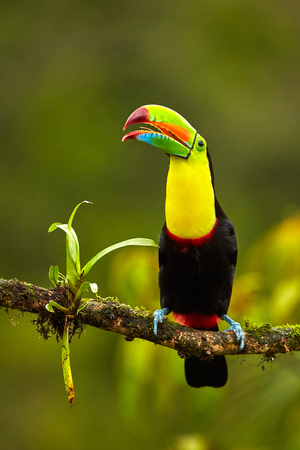 Portrait of Keel-billed Toucan (Ramphastus sulfuratus) perched on branch at Tropical Reserve. In Costa Rica. Wildlife bird Reklamní fotografie