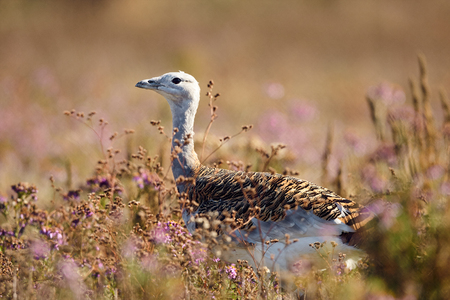 Portrait of a Great Bustard (otis tarda) in the grass. Wildlife scene from Hungary.