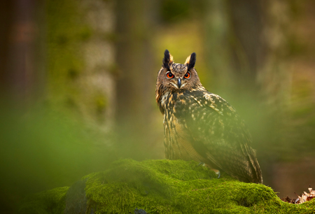 Eurasian eagle owl, Bubo bubo, siting on the rock in the dark forest. Green forest in the background. Wild animal with big orange eyes. Фото со стока