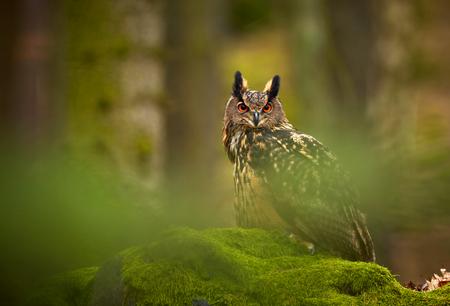 Eurasische Uhu, Bubo Bubo, Standortwahl auf dem Felsen im dunklen Wald. Grüner Wald im Hintergrund. Wildes Tier mit großen orangefarbenen Augen.
