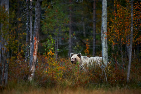 Big brown Brown bear (Ursus arctos) from Finland. Beautiful brown bear walking around lake with autumn colours. Reklamní fotografie