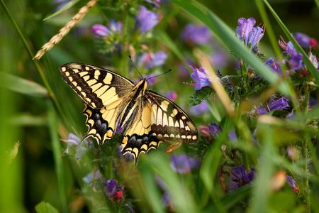 Papilio machaon, European Swallowtail (Common Yellow Swallowtail). Butterfly on flower. Czech Republic Reklamní fotografie