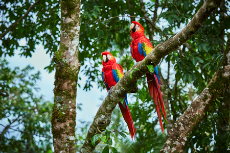 Pair of big Scarlet Macaws, Ara macao, two birds sitting on the branch. Pair of macaw parrots in Costa Rica. Love scene from fain forest. Reklamní fotografie