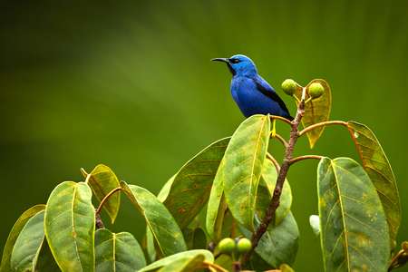 Shining Honeycreeper, Cyanerpes lucidus. Beautiful  blue bird from Costa Rica.