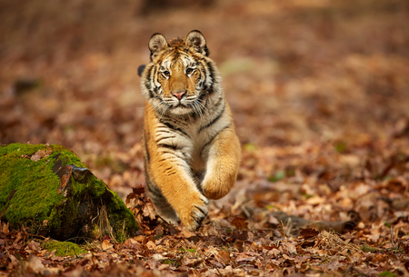 Amur tiger running in the forest. Action wildlife scene with danger animal. Siberian tiger, Panthera tigris altaica Reklamní fotografie