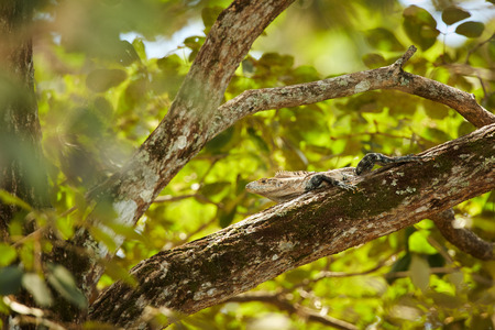 Lizard Black Iguana, Ctenosaura similis, lying on a tree. Wildlife animal scene from nature. Animal in Costa Rica. Summer day with lizard with long tail. Iguana on the sun, Central America.