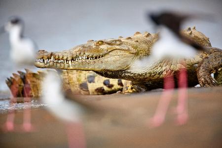 American crocodile (Crocodylus acutus) Costa Rica, Tarcoles River Reklamní fotografie