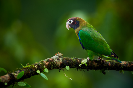 Portrait of light green parrot with brown head,  Brown-hooded Parrot, Pionopsitta haematotis. Wildlife bird from tropical forest. Parrot from Central America. Reklamní fotografie