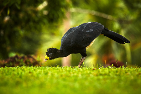 Bare-faced Curassow, Crax fasciolata, big black bird with yellow bill in the nature habitat, Costa Rica. Wildlife scene from tropic forest. Black bird in green grass, tropic nature. Jungle bird.