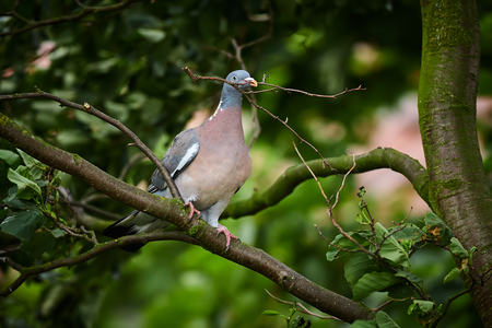Common Wood Pigeon  (Columba palumbus) carrying a twig as a nest material. Wildlife scene from Germany.