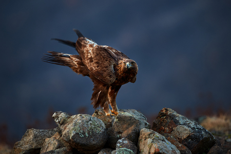 Golden Eagle (Aquila chrysaetos) sitting on the rock garden. Wild animal. Action wildlife scene from Rhodope
