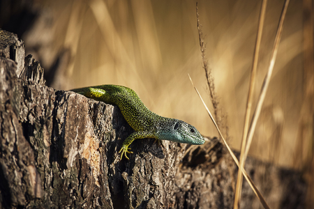 European green lizard - Lacerta viridis. Siting on tree. Beautifully colored animals in nature habitat, summer sunbathing, endangered by animals in nature habitat