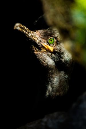 Portrait fo European Shag (Phalacrocorax aristotelis aristotelis). Wildlife scene from the island Vardo, Norway. Reklamní fotografie
