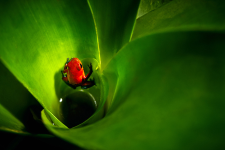Red Strawberry poison dart frog, Dendrobates pumilio, in the bromelia. Costa Rica. Stockfoto