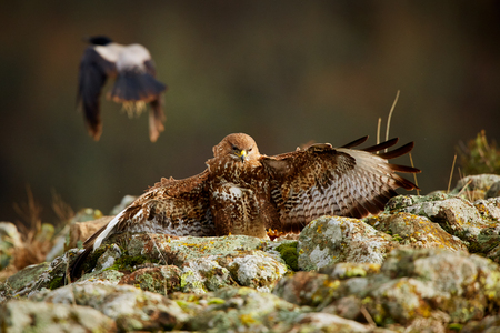 Hunting Common buzzard (Buteo buteo). Action scene from the Rhodope Mountains, Bulgaria. Wildlife animal. Reklamní fotografie