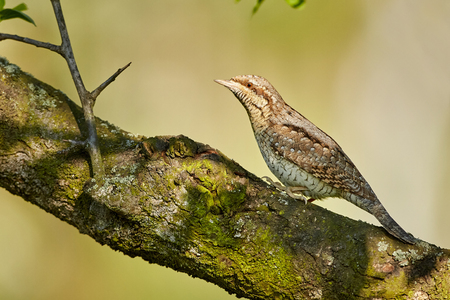 Eurasian Wryneck, Jynx torquilla sitting on the branch before green background.
