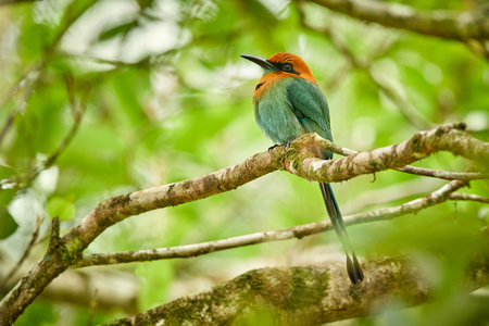 Broad-billed Motmot, Electron platyrhynchum  beautiful coloured bird sition on a branch. Wildlife animal from Costa Rica. Birds with long tail.