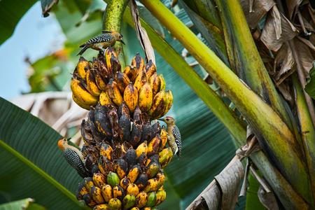 Hoffmanns woodpecker (Melanerpes hoffmannii) feeding on banana třee. Wildlife scene from Costa Rica.
