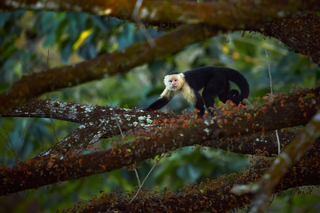 White-headed Capuchin, black monkey sitting on tree branch in the dark tropic forest. Wildlife Costa Rica. Stok Fotoğraf
