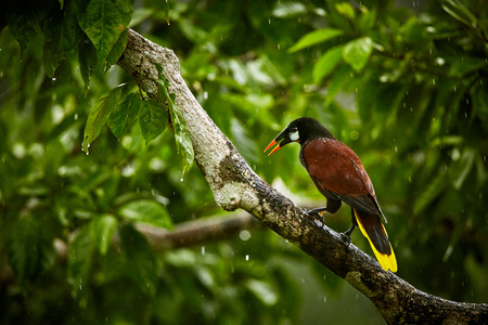 Montezuma Oropendola, Psarocolius montezuma, exotic bird from Costa Rica, brown with black head and orange bill, green background. Wildlife scene from nature. Reklamní fotografie