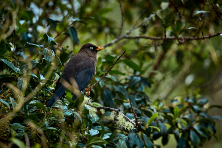 Sooty thrush (Turdus nigrescens) Beautiful endemic bird from Costa Rica and western Panama. Wild animal in the nature habitat. Reklamní fotografie