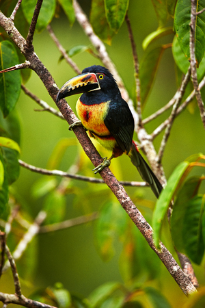 Collared Aracari, Pteroglossus torquatus, bird with big bill. Toucan sitting on the nice branch. Wildlife animal from Costa Rica.