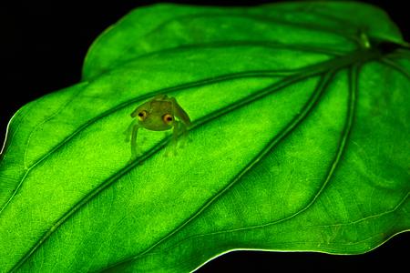 Fleischmann's glass frog, Hyalinobatrachium fleischmanni siting on green leaf. Costa Rica frog.