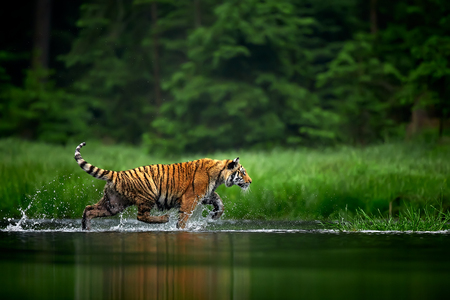 Amur tige in the river. Action wildlife scene with danger animal. Siberian tiger, Panthera tigris altaica