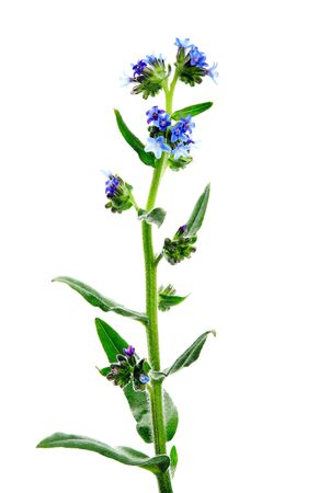 Anchusa officinalis, commonly known as the common bugloss or alkanet, is a plant species in the genus Anchusa. High resolution photo of herbs on a white background.
