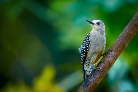 Hoffmann's woodpecker (Melanerpes hoffmannii). Female sitting on a branch. Woodpecker from Central America.