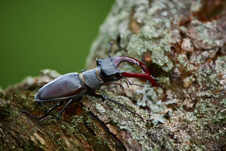 Europe's largest beetle Lucanus cervus. Big beetle on old tree. Stag beetle from Western Europe.