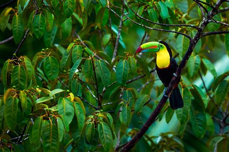 Toucan from Costa rica. Portrait of Keel-billed Toucan (Ramphastus sulfuratus). Colorful bird on branch in the rainforest. Wildlife scene with beautiful bird.