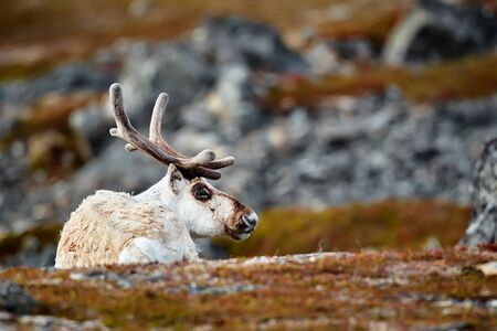 This polar reindeer (Rangifer tarandus) doesn't carry any Christmas presents with Santa. It is a resting reindeer in Varangerfjord, Norway. Reklamní fotografie