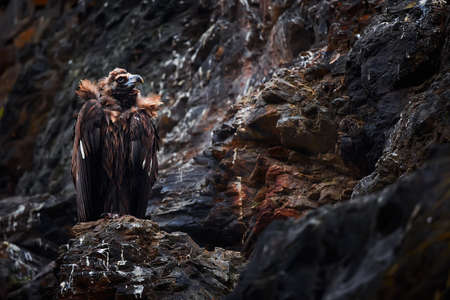 The cinereous vulture (Aegypius monachus) also known as the black vulture, monk or Eurasian black vulture sitting on the nesting place. Wild animal on nesting place in Spain. Reklamní fotografie