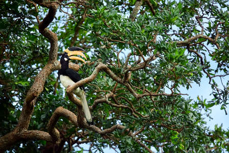 Malabar pied hornbill (Anthracoceros coronatus). Big beautiful bird sitting on a tree in Udawalawe National Park. Wildlife scene from tropical nature.