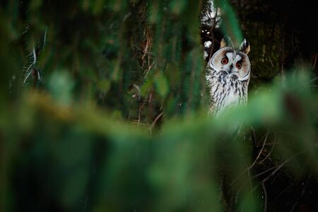 Long-eared owl (Asio otus) sitting on a tree. Bird wintering ground on spruce in the Czech Republic. Wild animal in natural habitat