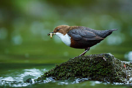White-throated Dipper, Cinclus cinclus,with food in the bill, nesting time. A bird that can swim. Animal behavior in the nature habitat. Wildlife scene from Czech Republic.