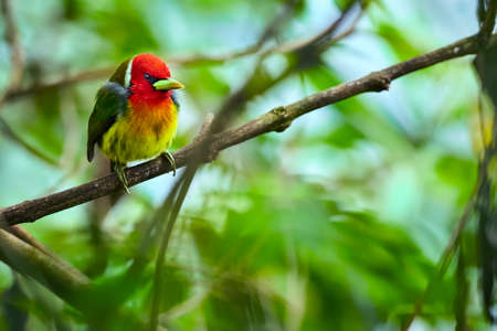 Red headed Barbet (Eubucco bourcierii), exotic bird from central Costa Rica. Mountain bird in green rain forest. Wildlife scene from nature.