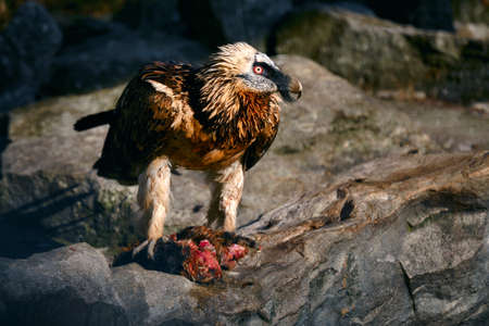 Bearded Vulture, Gypaetus barbatus, sitting on the stone and eats carrion. Reklamní fotografie