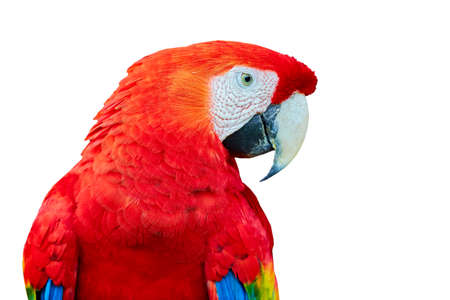 Big beautiful red parrot scarlet macaw (Ara macao). Portrait of a parrot on a white background. Reklamní fotografie