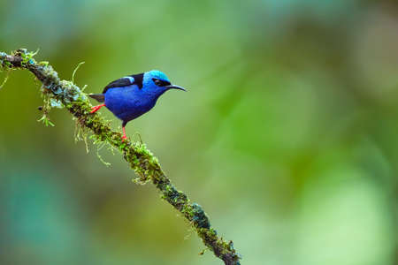 Beautiful shot of a blue little bird from the forest environment. The red-legged honeycreeper (Cyanerpes cyaneus) is a small songbird species in the tanager family.Wild scene from Costa Rica.
