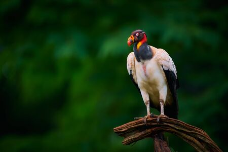 The king vulture (Sarcoramphus papa) is a large bird found in Central and South America. Wildlife scene from tropic nature of Costa Rica. Reklamní fotografie
