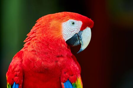 Big beautiful red parrot scarlet macaw (Ara macao). Portrait of sitting parrot.Wild animal of Central America