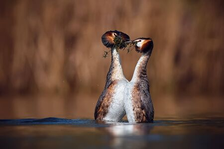 Wedding dance of Great Crested Grebe - Podiceps cristatus. Spring photo of water birds. Wildlife scene from Czech Republic. Animals in natural environment.