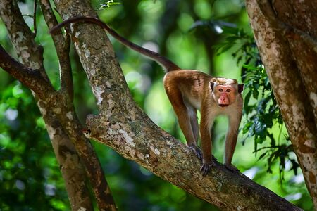 Toque macaque (Macaca sinica) monkey on the tree in Wilpattu. Wildlife scene from Sri Lanka. Monkey on the tree.