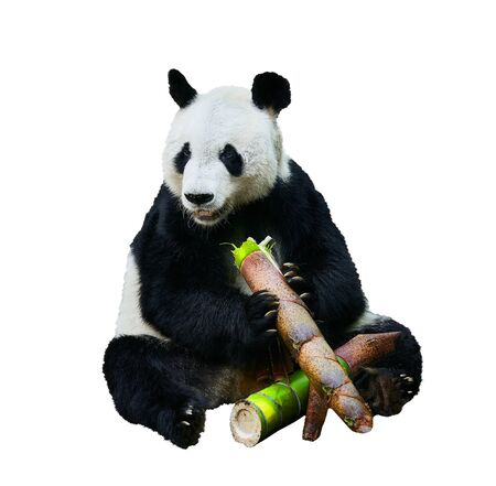 Beautiful shot of a Giant panda (Ailuropoda melanoleuca) or Panda Bear. Sitting bear eating a large piece of bamboo. Endangered animal on white background. Foto de archivo